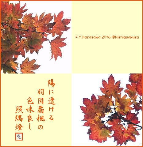 161207羽団扇楓の紅葉