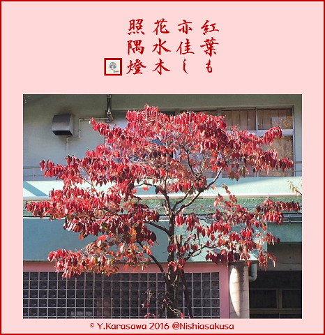 161213花水木の紅葉