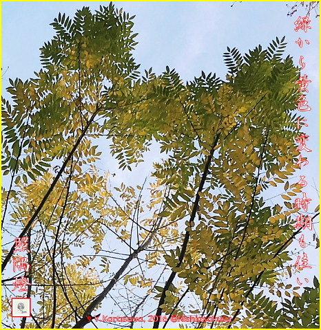 161229偕樹の紅葉