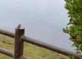 1611 江津湖野鳥 ジョウビタキ