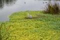 1611 江津湖野鳥 アオサギ