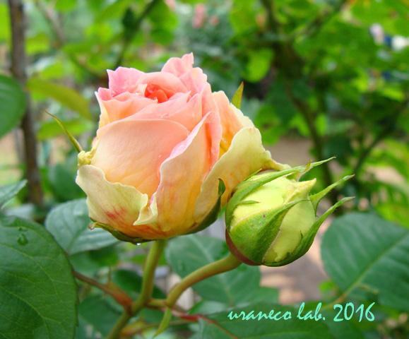 5月13日薔薇8