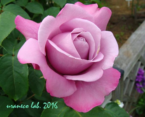 5月13日薔薇5
