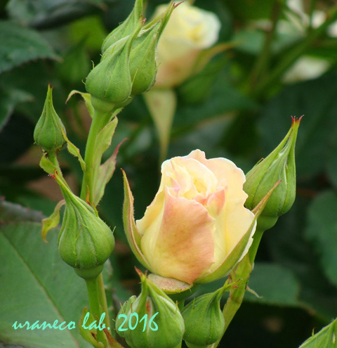 5月13日薔薇