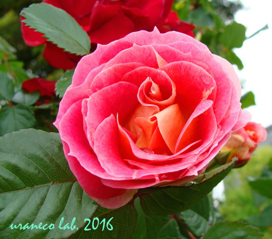 5月13日薔薇7