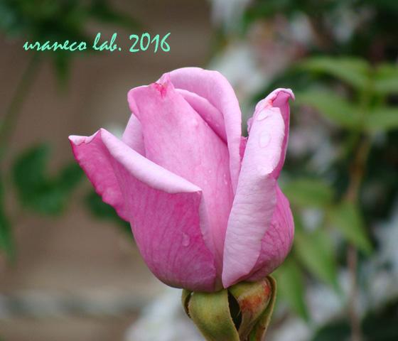 5月13日薔薇9