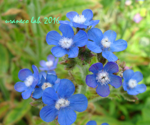 5月13日blue flowers