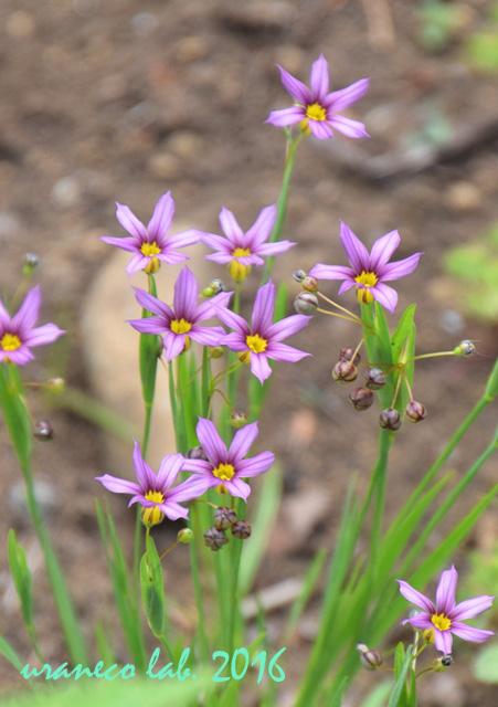 5月18日ニワセキショウ紫