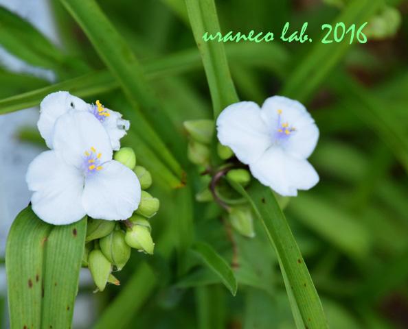 5月19日ムラサキツユクサ白花