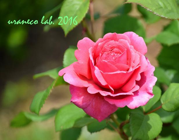 5月19日薔薇2