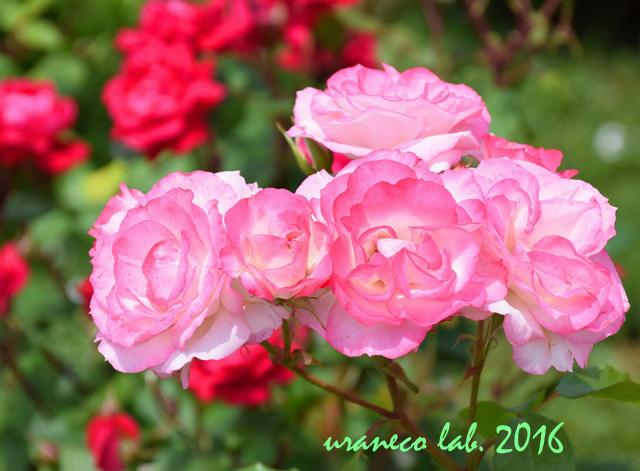5月19日薔薇5