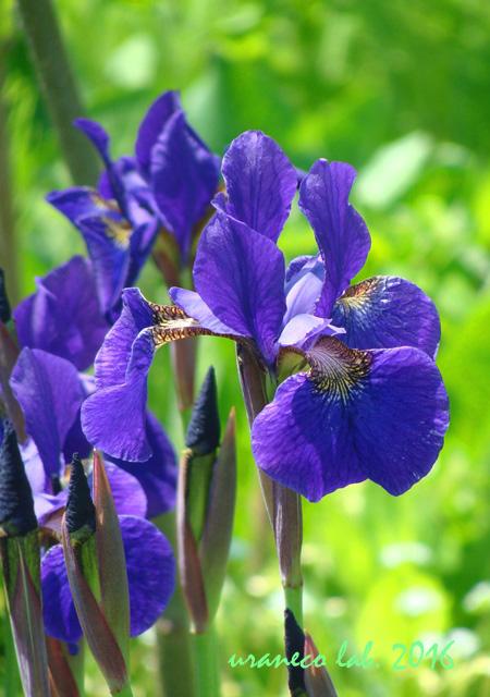 5月23日Iris2