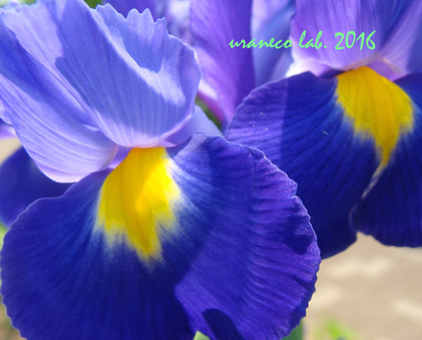 5月23日Iris