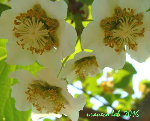 5月23日キウイ白花