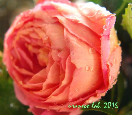 5月26日ピンクの薔薇