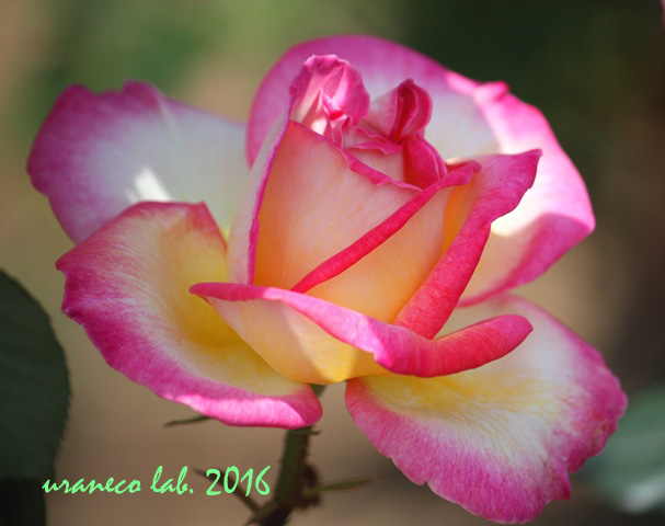 5月26日薔薇