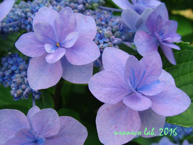 5月26日紫陽花