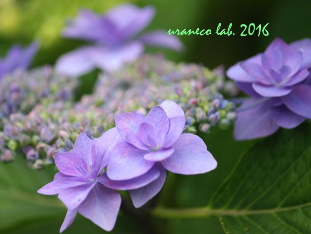 5月26日紫陽花9