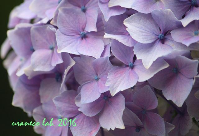 5月26日紫陽花6