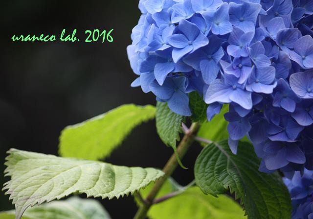 5月26日紫陽花8