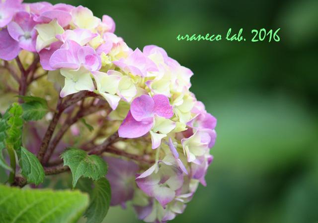 5月26日紫陽花7