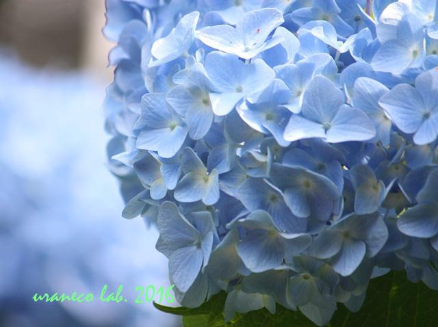 5月26日紫陽花5