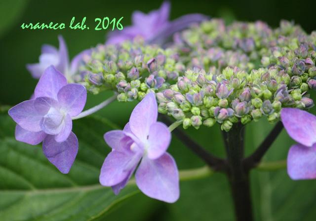 5月26日紫陽花4