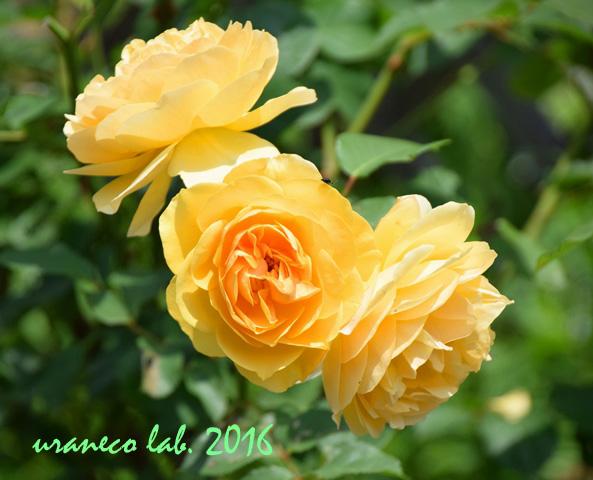 5月19日薔薇6