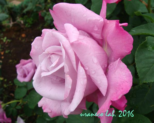 5月13日薔薇6