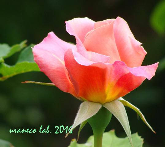 5月30日薔薇3