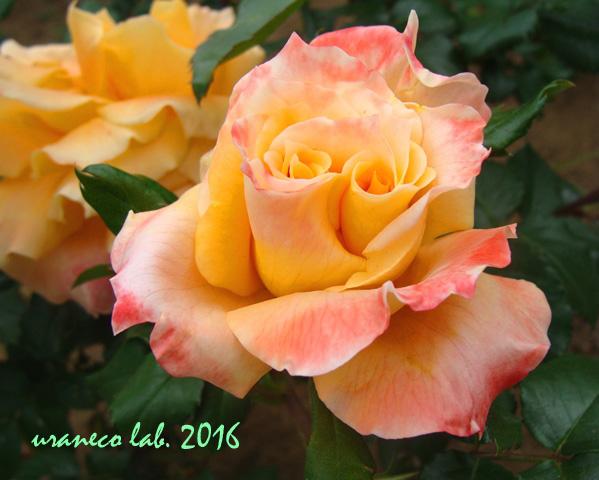 5月30日薔薇