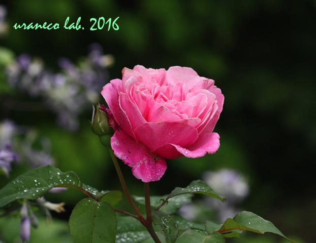 5月30日薔薇4