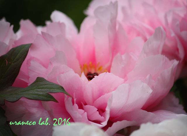 5月26日牡丹3