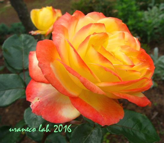 5月30日薔薇2