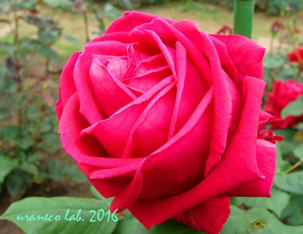 5月13日薔薇3