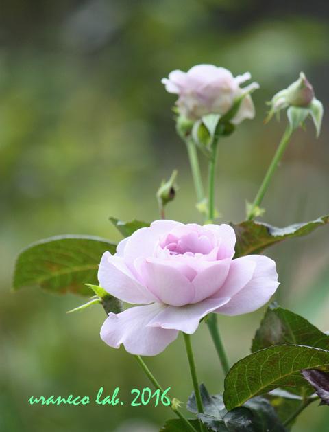 6月7日薔薇