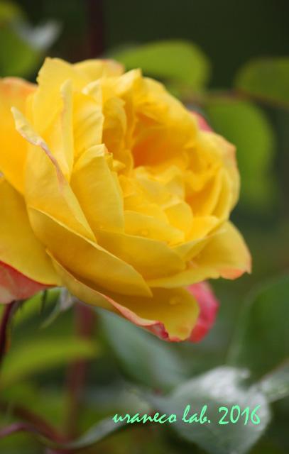 6月7日薔薇3
