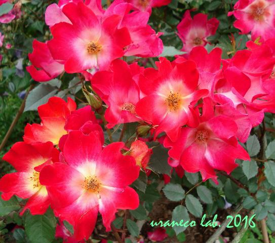 6月10日薔薇6