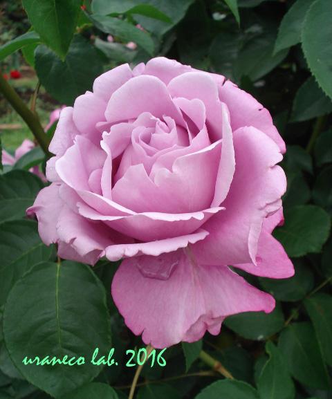 6月10日薔薇5