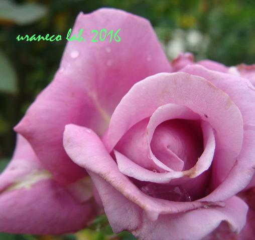 6月28日薔薇