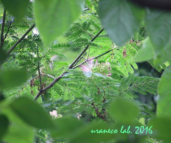 7月5日合歓の木3