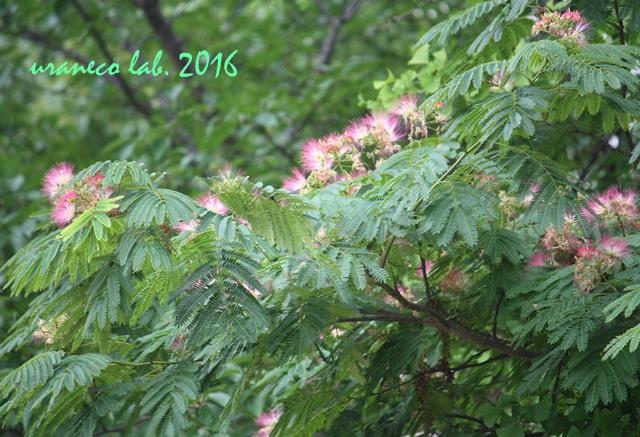 7月5日合歓の木