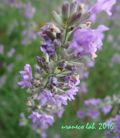 7月5日紫色のハーブ