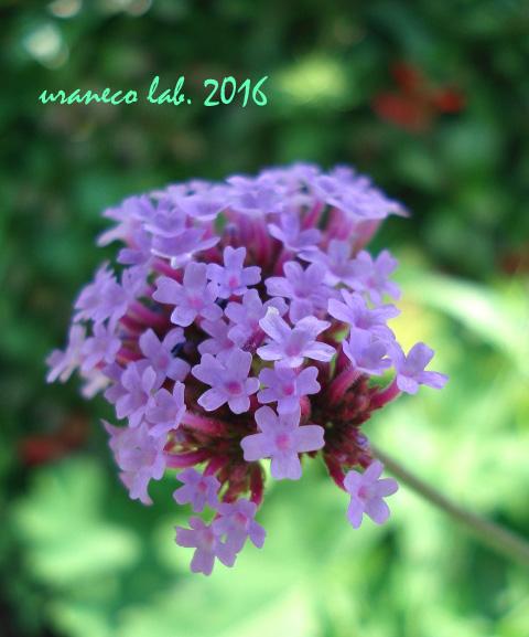 7月8日紫小花