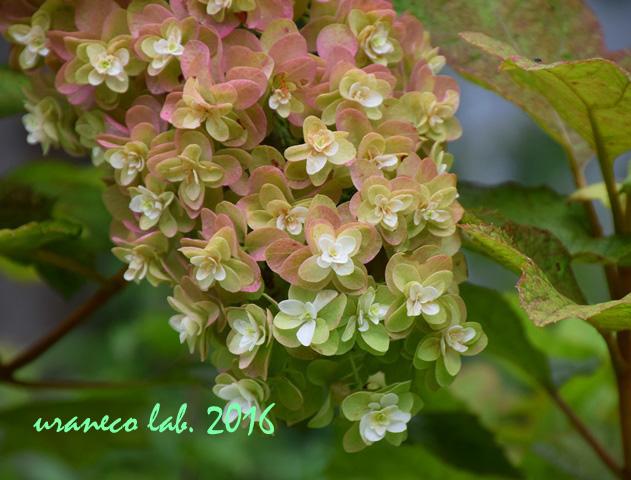 7月12日柏葉紫陽花