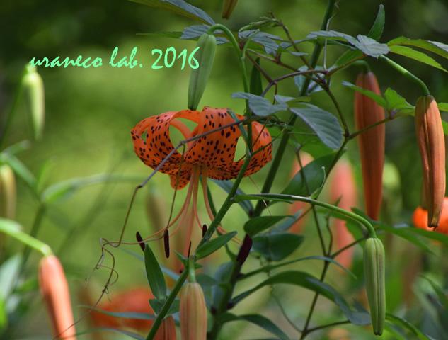 7月12日オレンジ色のユリ2