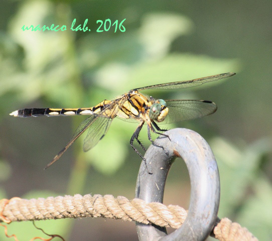 7月22日蜻蛉