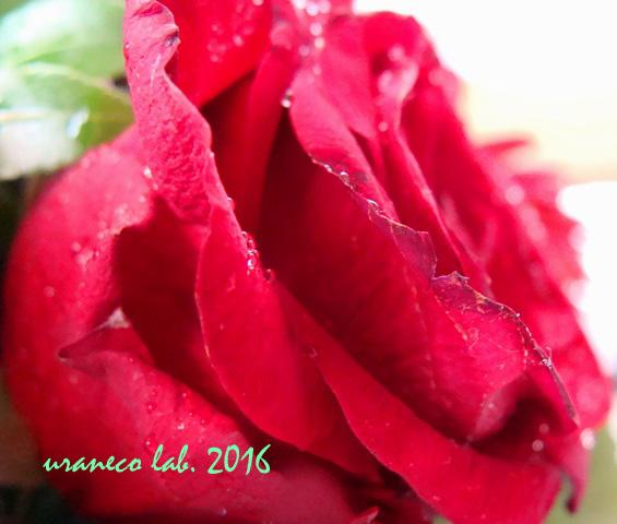 7月28日薔薇アップ7