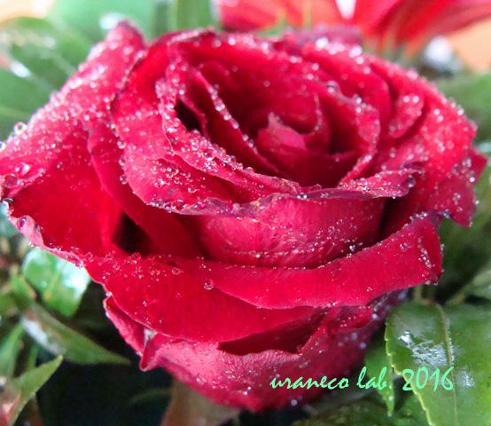 7月28日薔薇アップ3