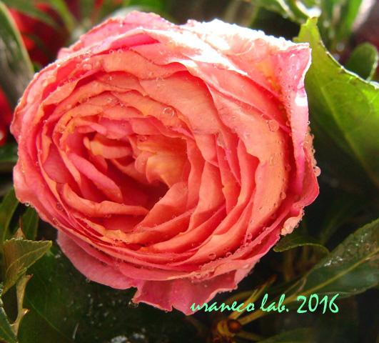 7月28日薔薇アップ2